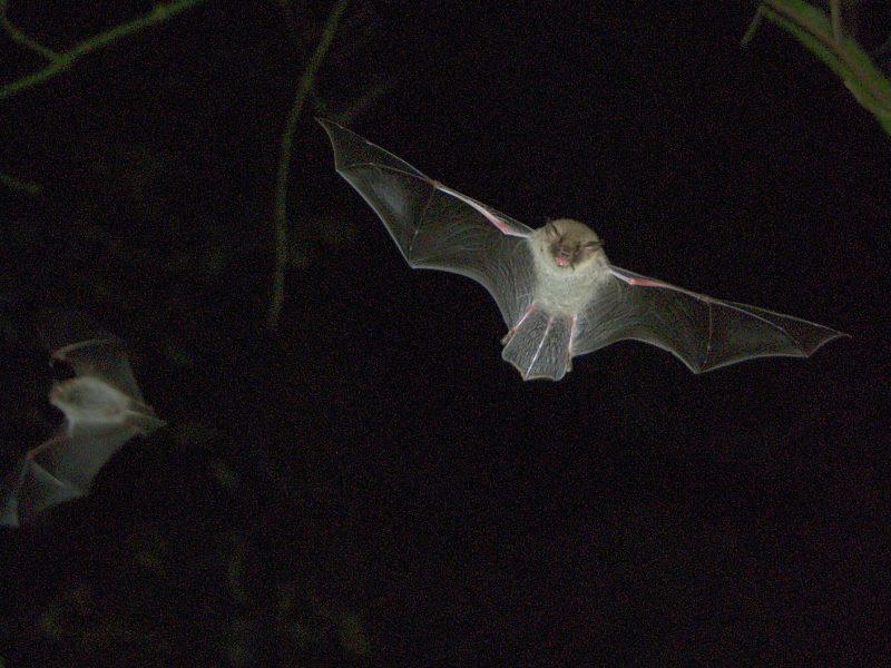 Fransenfledermaus Myotis Nattereri