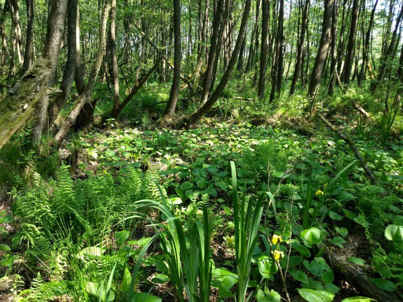 Sumpfcalla Erlenbruchwald